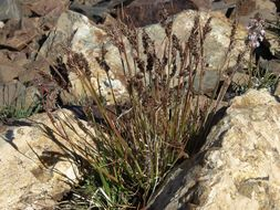 Image of <i>Luzula spicata</i> (L.) DC.