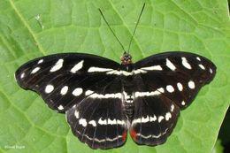 Image of <i>Catonephele mexicana</i>