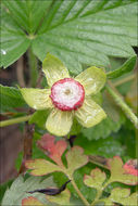 Image of Indian strawberry