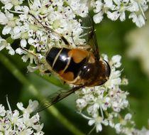 Image of <i>Eristalis horticola</i>