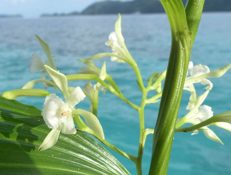 Image of White cinnamon orchid