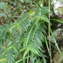 Image of <i>Pseuderia micronesiaca</i> Schltr.