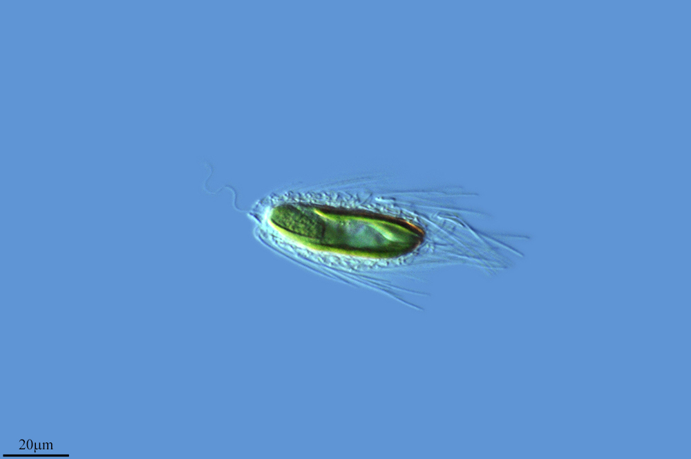 Image of <i>Mallomonas caudata</i>