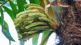 Image of <i>Bactris ferruginea</i> Burret