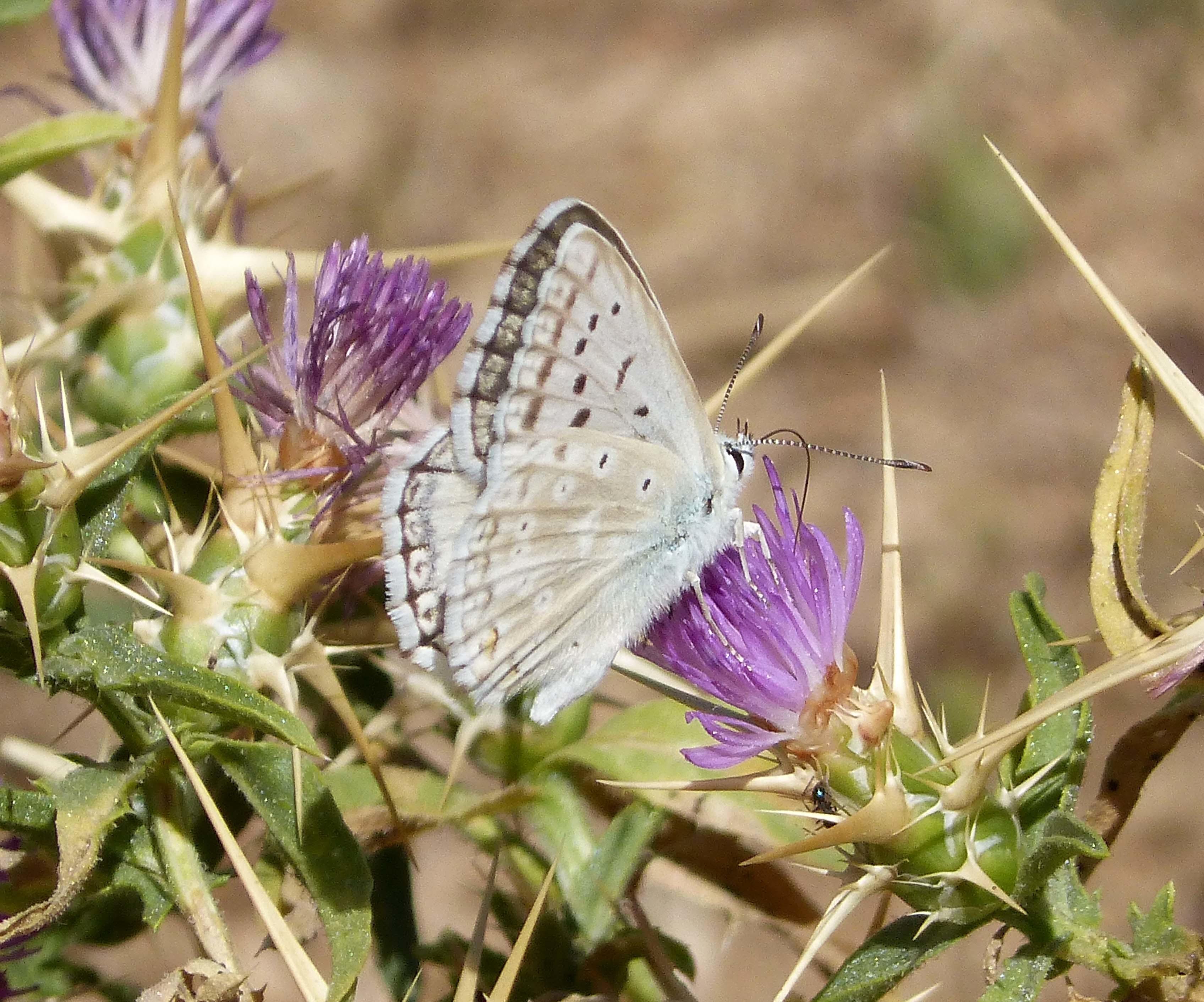 Image of <i>Lysandra albicans</i>