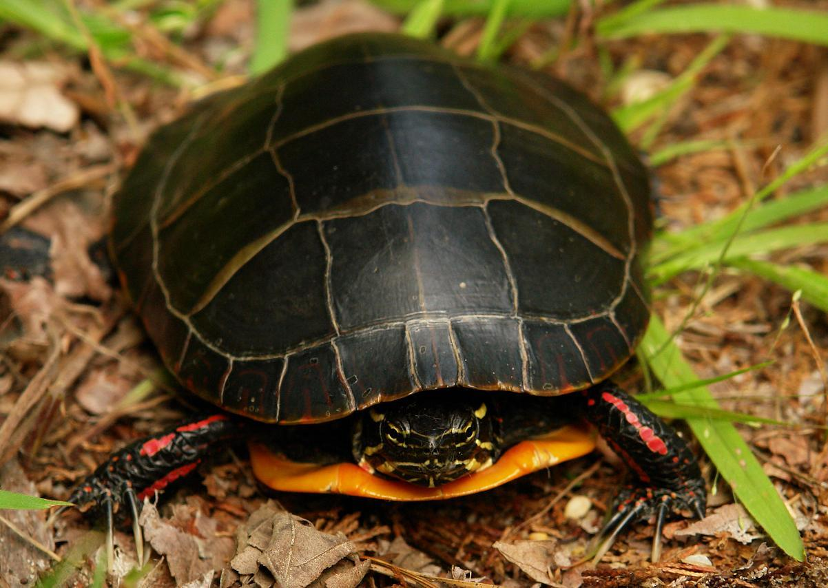 Image of Southern Painted Turtle