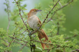 Image of Greater Thornbird