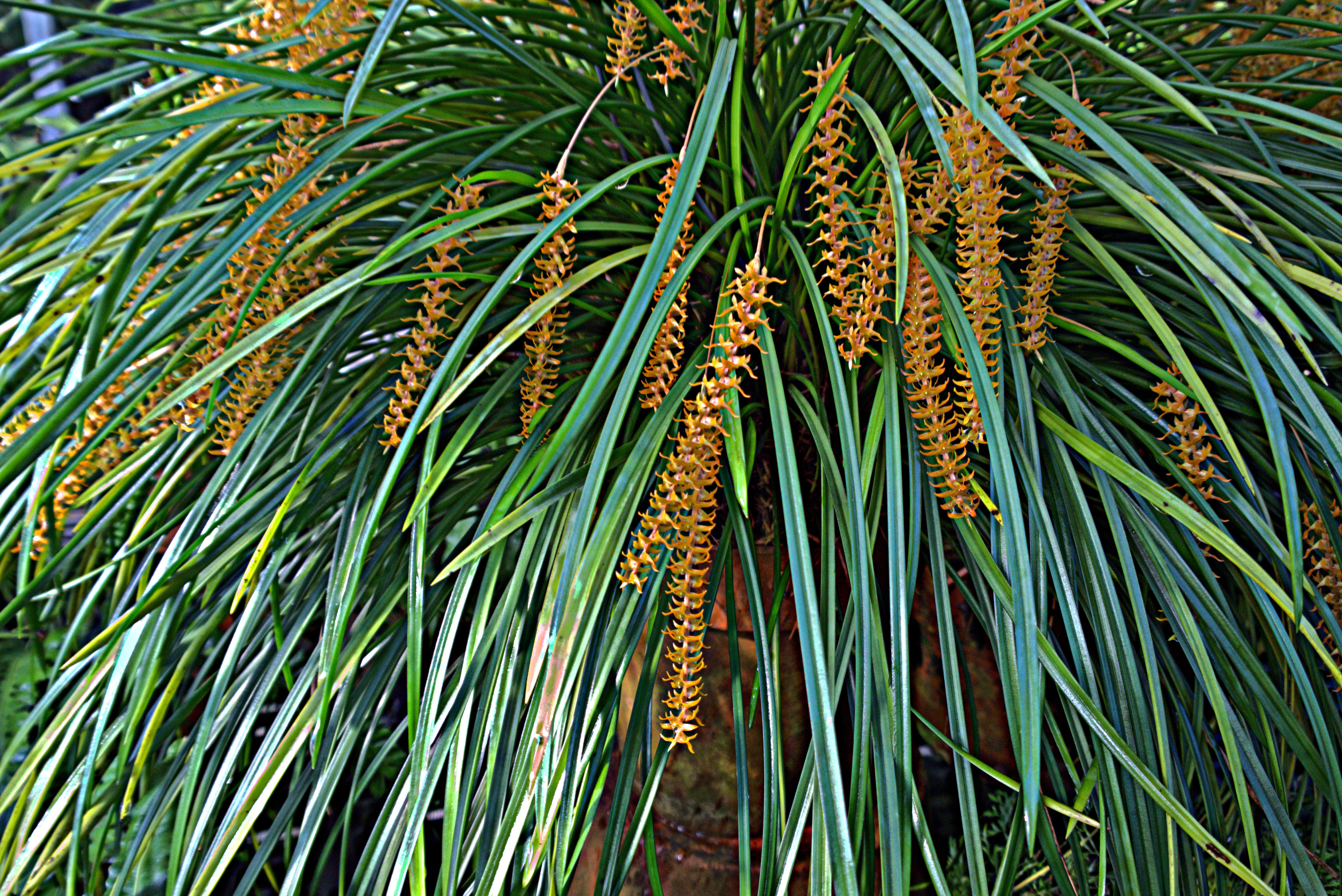 Image of <i>Dendrochilum wenzelii</i> Ames