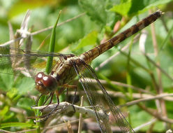 Image of Band-winged Dragonlet