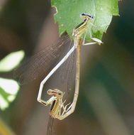 Image of <i>Platycnemis latipes</i> Rambur 1842