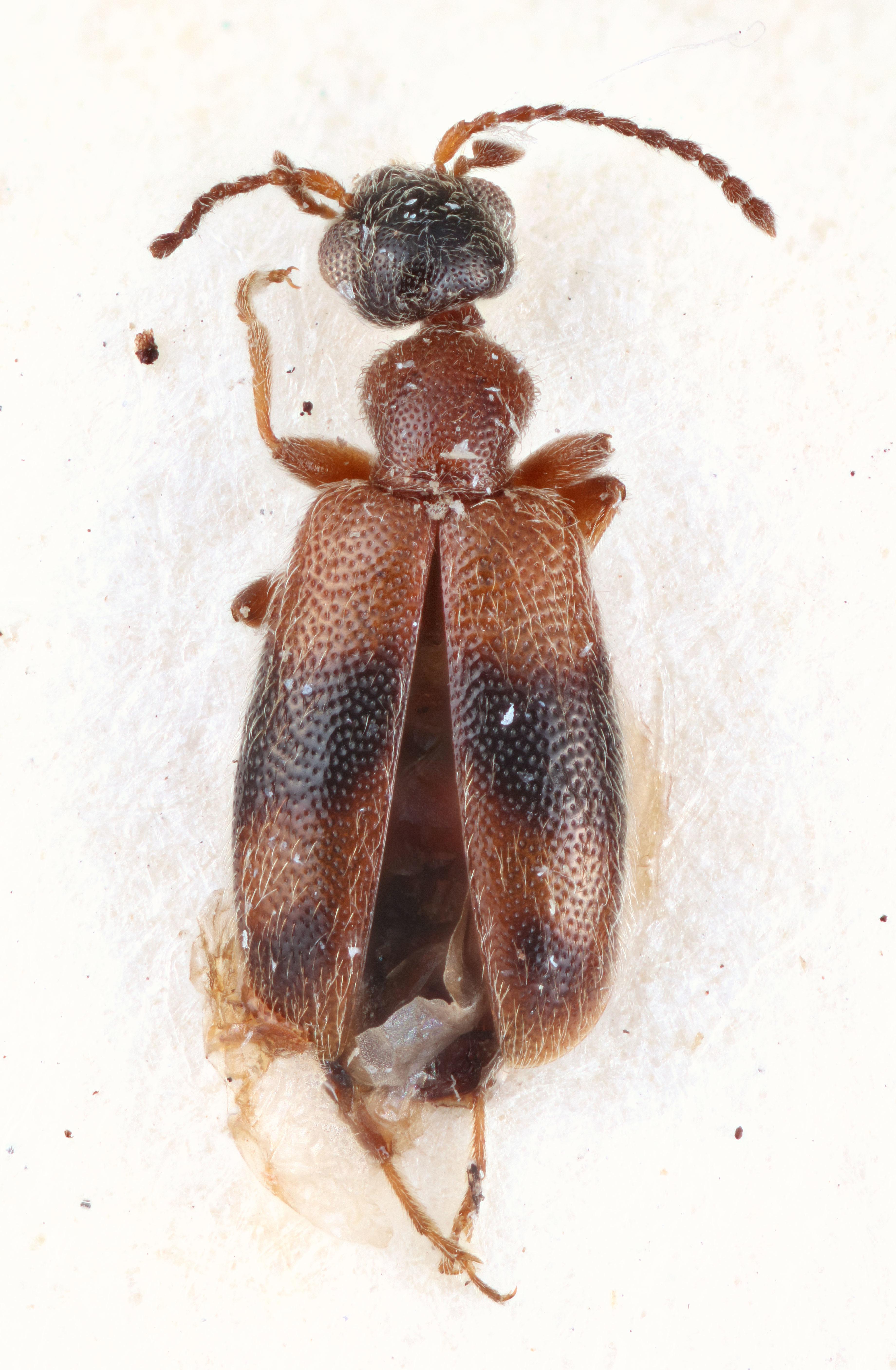 Image of <i>Anthicus semirubidus</i> Bonadona 1988