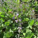 صورة <i>Calopogonium caeruleum</i> (Benth.) Sauvalle