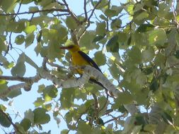 Image of Eurasian golden oriole