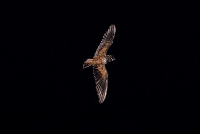 Image of Short-tailed Nighthawk