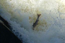 Image of Atlantic Salmon