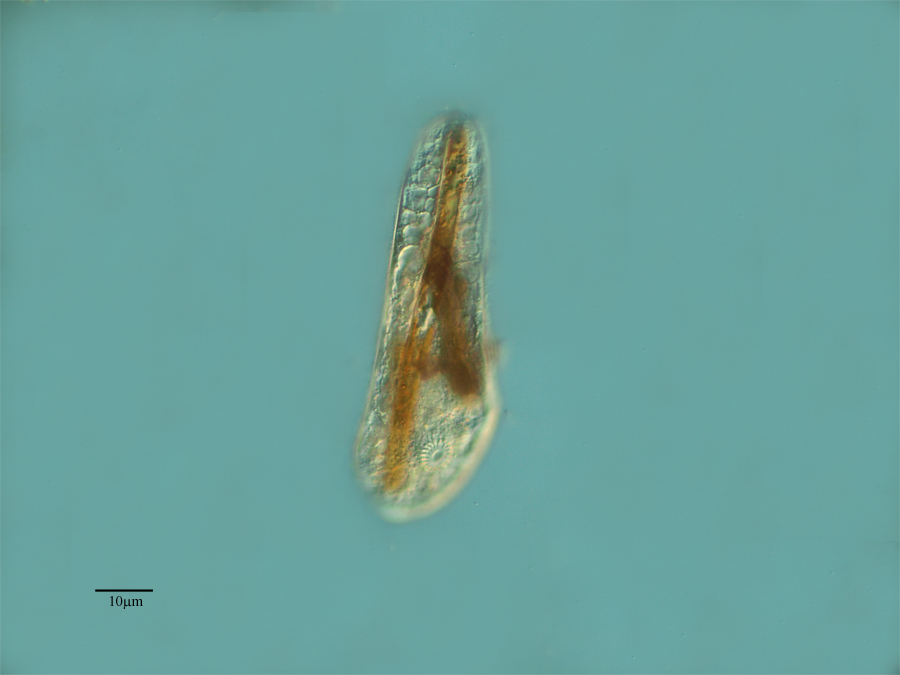 Image of <i>Chilodontopsis hisionensis</i>