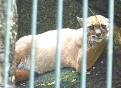 Image of Asian Golden Cat