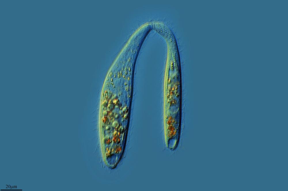 Image of <i>Trachelophyllum apiculatum</i> (Perty 1852) Claparède & Lachmann 1859