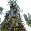 Image of Western Red-cedar