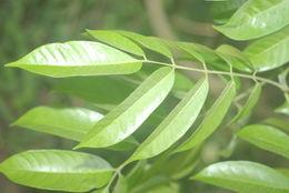Image of Chinese white olive