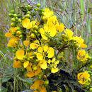 Image of arsenic bush