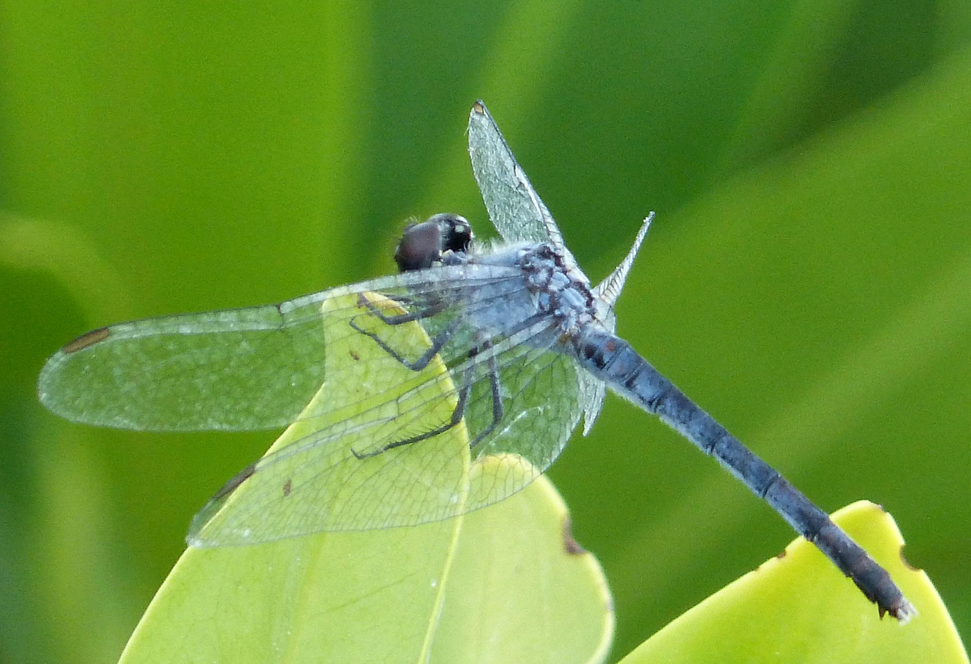 Image of <i>Erythrodiplax miniscula</i>