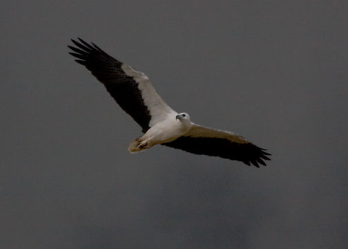 Image of White-bellied Sea Eagle