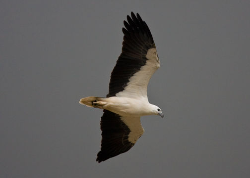 Image of White-bellied Sea Eagle
