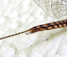 Image of <i>Hexagenia rigida</i> Mc Dunnough 1924