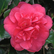 Image of Camellia
