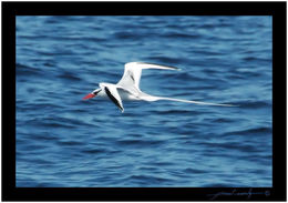 Image of Red-billed Tropicbird