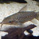 Image of Porthole catfish
