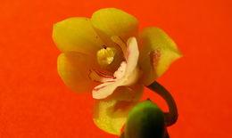 Image of <i>Koellensteinia spiralis</i> Gomes Ferreira & L. C. Menezes