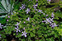 صورة <i>Philotheca salsolifolia</i> (Smith) Druce