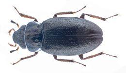 Image of <i><i>Ochthebius</i></i> (Ochthebius) <i>ciffidilis</i> Ferro 1984