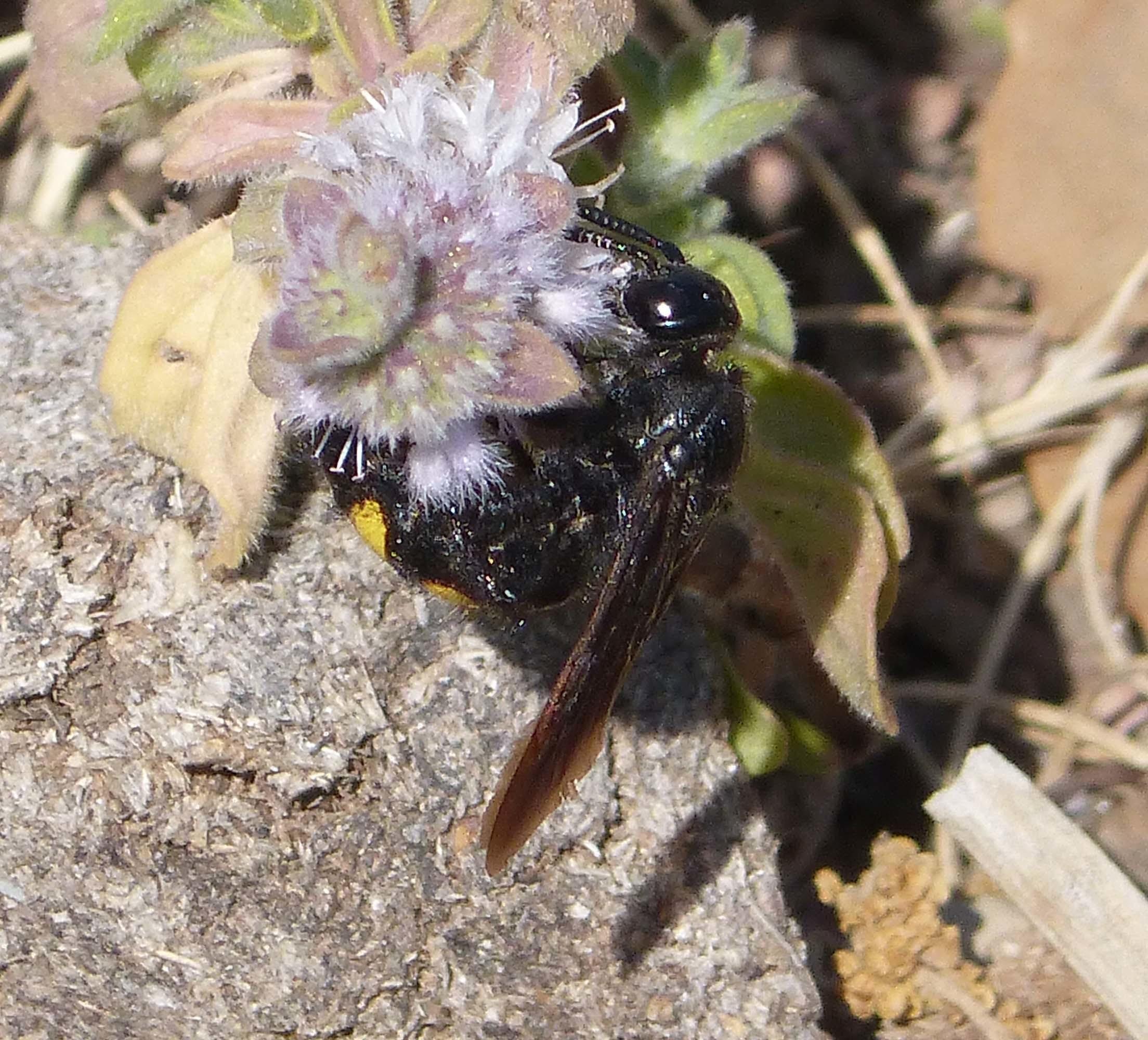 Image of <i>Scolia hortorum</i> ssp. <i>nouveli</i> Hamon 1992