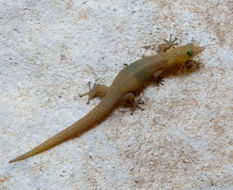 Image of Cuban night lizard