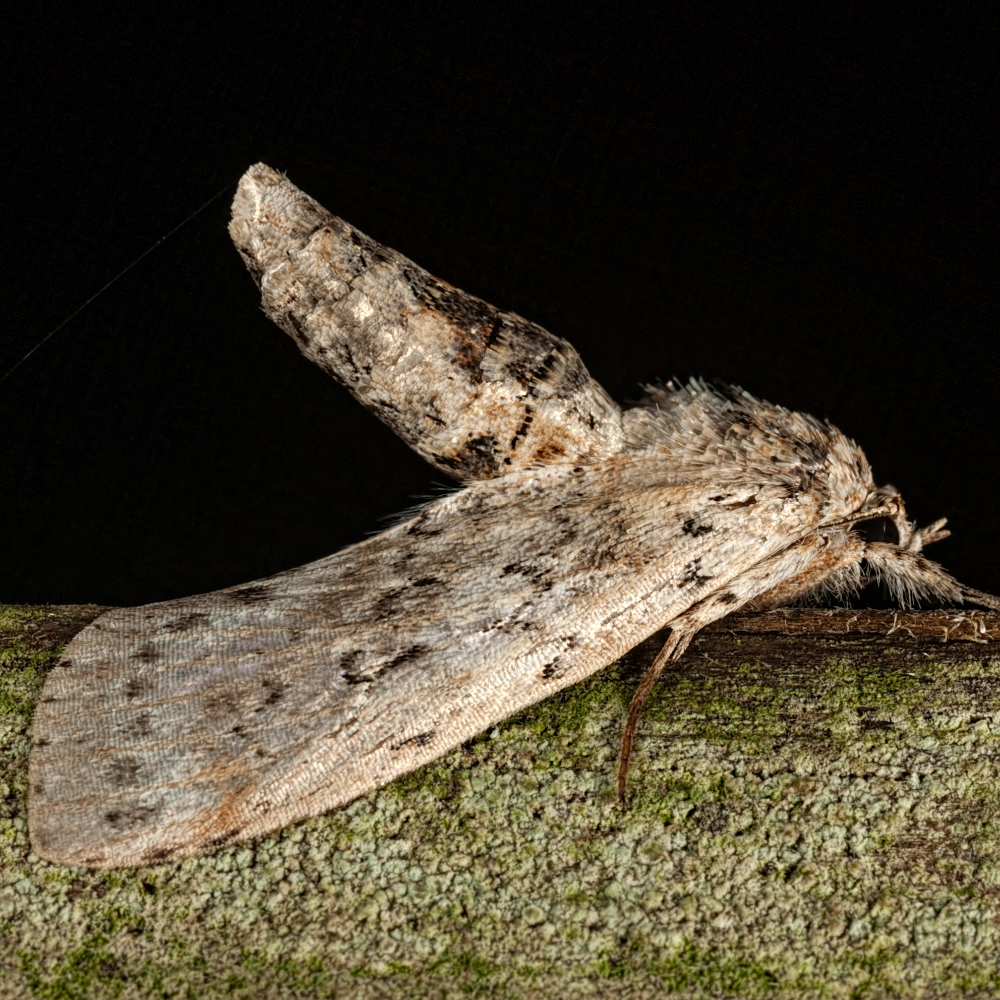Image of <i>Motya abseuzalis</i> Walker 1859