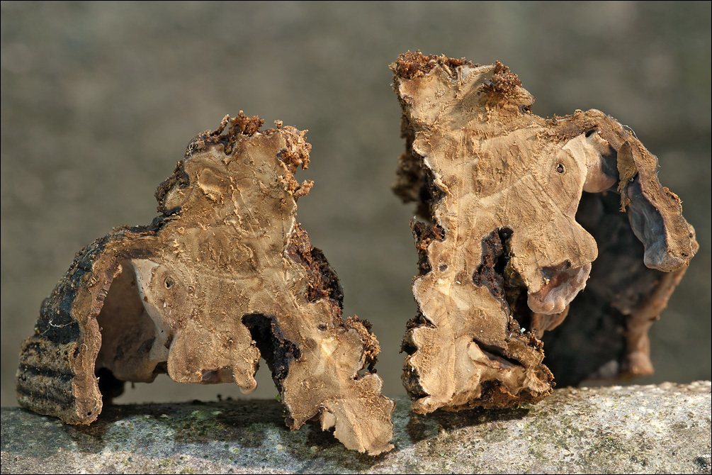 Image of <i>Chondrostereum purpureum</i> (Pers.) Pouzar 1959