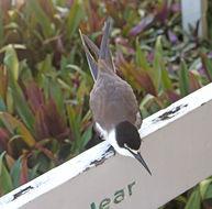 Image of Bridled Tern
