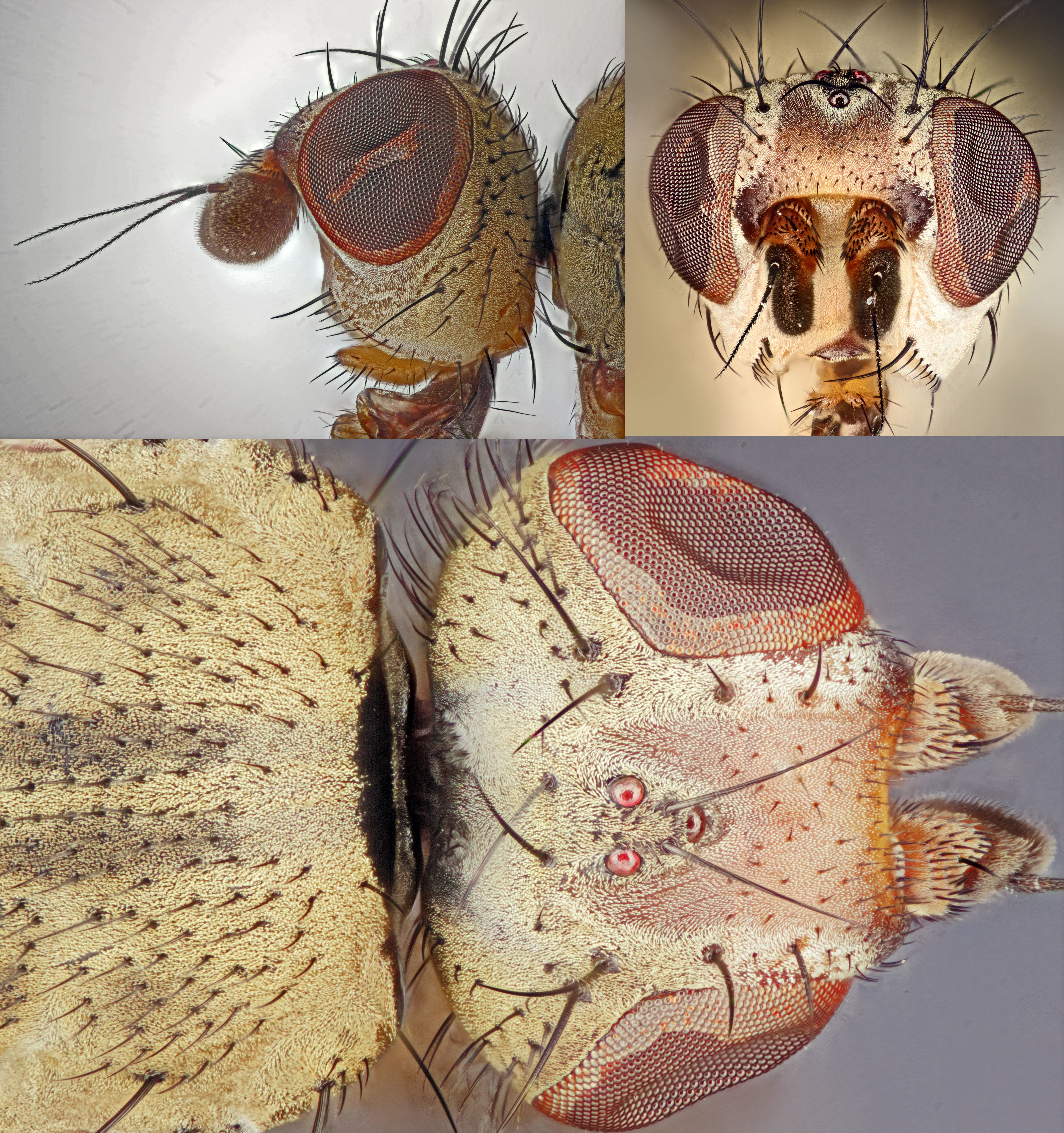 Image of <i>Tephrochlamys rufiventris</i> (Meigen 1830)