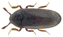 Image of <i>Aulonothroscus brevicollis</i> (Bonvouloir 1859) Bonvouloir 1859