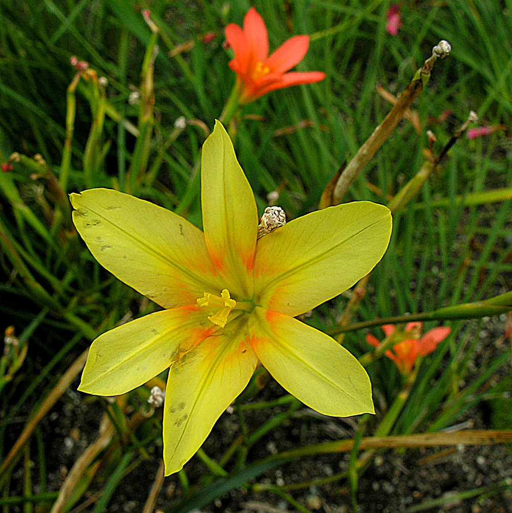 Image of <i>Moraea ochroleuca</i> (Salisb.) Drapiez