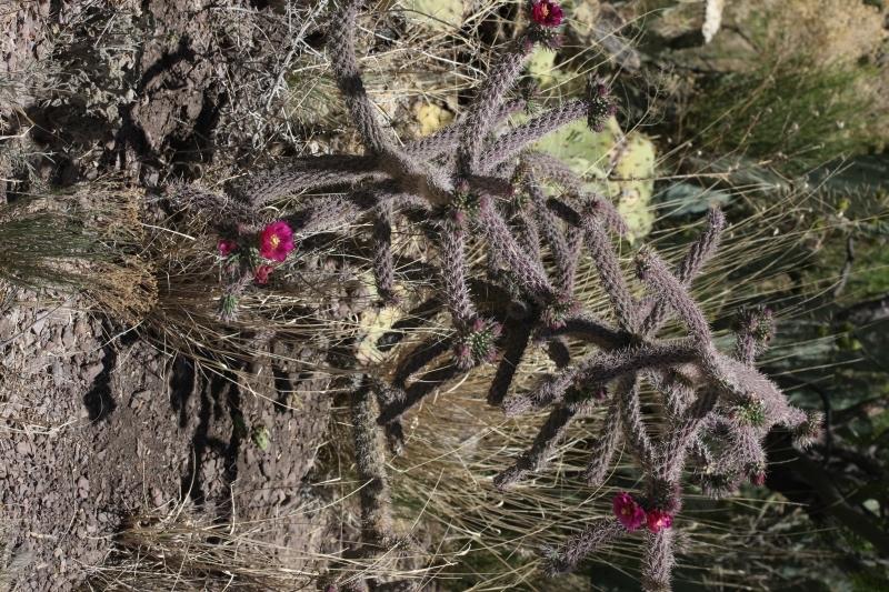 Image of <i>Opuntia versicolor</i>