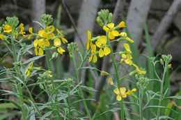 Image of Contra Costa wallflower