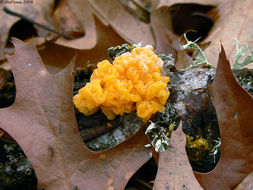 Image of Witches butter