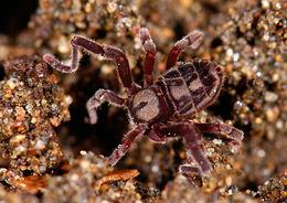 Image of <i>Cryptocellus goodnighti</i> Platnick & Shadab 1981
