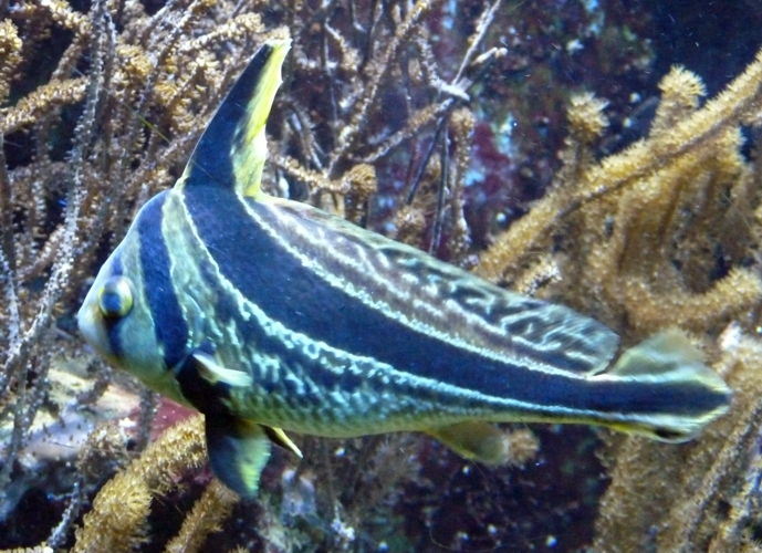 Image of Donkey Fish