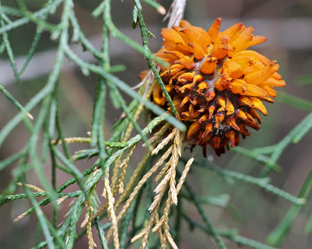 Image of Cedar apple rust