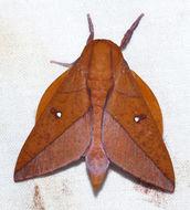 Image of <i>Adeloneivaia boisduvalii</i> (Doûmet 1859)